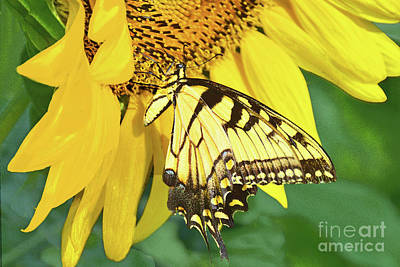 Anne Geddes - Sunflower and Swallowtail Butterfly by Regina Geoghan