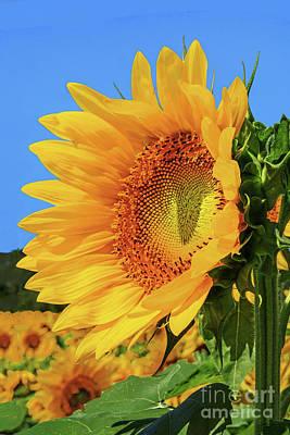 Open Impressionism California Desert - Sunflower Basking in the Sun by Regina Geoghan