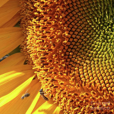 Abstract Stripe Patterns - Sunflower Closeup Square by Carol Groenen