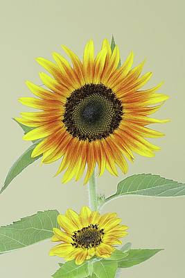 Lori A Cash Royalty-Free and Rights-Managed Images - Sunflower Duet by Lori A Cash