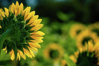 Photograph - Sunflower Envy by Howard Yermish