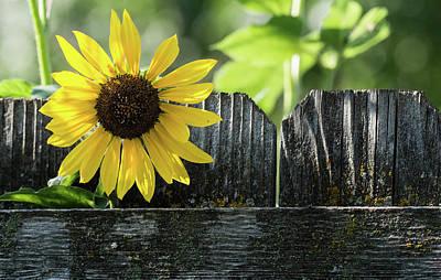 Vintage Movie Stars - Sunflower - Fence - Lichen by Rae Ann  M Garrett