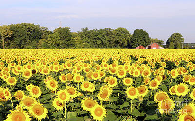 Space Photographs Of The Universe - Sunflower Field  0220 by Jack Schultz