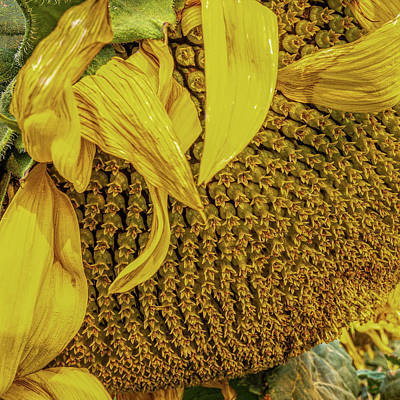 Royalty-Free and Rights-Managed Images - Sunflower Life by Peter Tellone