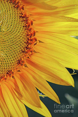 Studio Grafika Science - Sunflower Macro  1423 by Jack Schultz