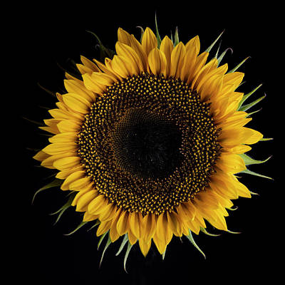 Photograph - Sunflower by Nailia Schwarz