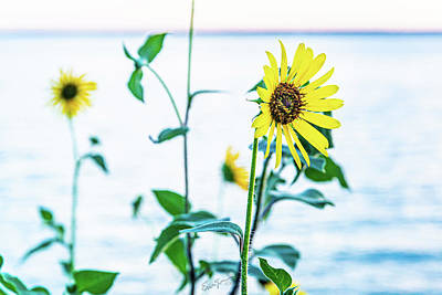 Photograph - Sunflower Pale by Erich Grant
