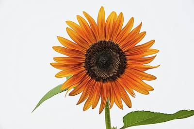 Lori A Cash Royalty-Free and Rights-Managed Images - Sunflower White Sky  by Lori A Cash