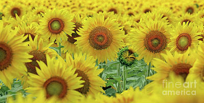 Studio Grafika Science - Sunflowers  0158 by Jack Schultz