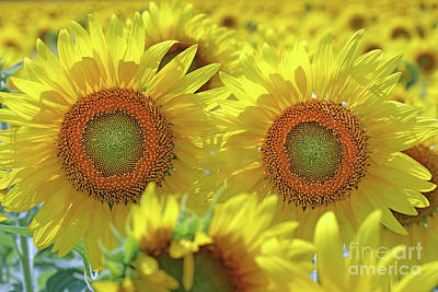 Studio Grafika Science - Sunflowers  0166 by Jack Schultz