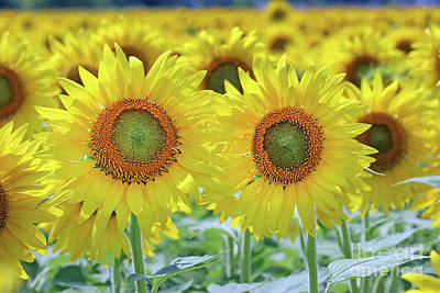 Studio Grafika Science - Sunflowers  0170 by Jack Schultz