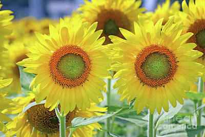 Studio Grafika Science - Sunflowers 0173 by Jack Schultz