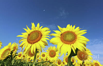 Space Photographs Of The Universe - Sunflowers  0269 by Jack Schultz