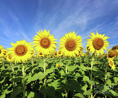 Studio Grafika Science - Sunflowers  0459 by Jack Schultz