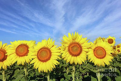 Studio Grafika Science - Sunflowers  0494 by Jack Schultz