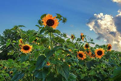 Audrey Hepburn - Sunflowers by Andrew Soundarajan