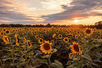 Scott Bean Rights Managed Images - Sunflowers at Sunset Royalty-Free Image by Scott Bean