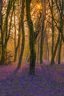 Keith Richards - Sunrise between bluebells in Chalet Wood by George Afostovremea