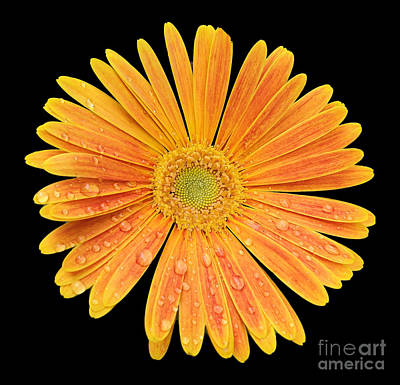 Wild And Wacky Portraits Rights Managed Images - Sunrise Gerbera Daise Royalty-Free Image by Donna Brown