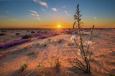 Photograph - Sunset Desert Lily by Peter Tellone