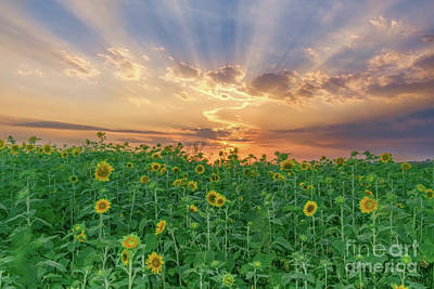 Vermeer Rights Managed Images - Sunset Over Sunflowers Royalty-Free Image by Ava Reaves