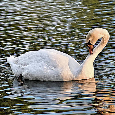 Animals Royalty-Free and Rights-Managed Images - Sunset Swan by Linda Brittain