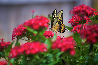 Photograph - Swallowtail Butterfly by Scott Norton