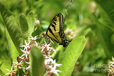 Garden Tools - Swallowtail in milkweed by Jeff Swan