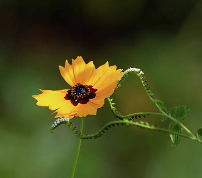 Animals Royalty-Free and Rights-Managed Images - Swamp Sunflower by Rebecca Herranen