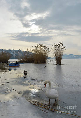 Up Up And Away - Swan in half frozen lake by Athina Psoma