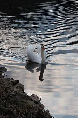 Photograph - Swan on the river by Lenka Rottova