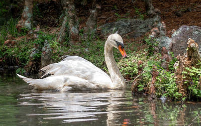 Photograph - Swan Pond Reflections by Marcy Wielfaert