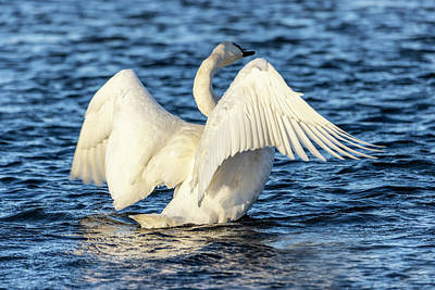Advertising Archives - Swan Wing Stretch Display by Patti Deters