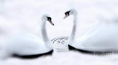 Photograph - Swans in Winter by Dave Harnetty