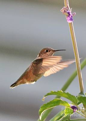 Farmhouse Rights Managed Images - Sweet Hummingbird Royalty-Free Image by Carol Groenen