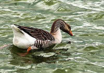 American Milestones - Swimming Greylags Goose by Norman Johnson