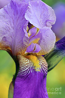 Royalty-Free and Rights-Managed Images - Tall Bearded Iris Monterey by Regina Geoghan