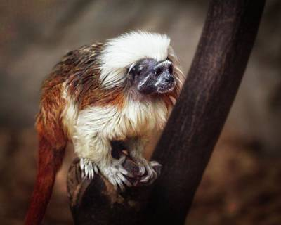 Animals Royalty-Free and Rights-Managed Images - Cotton-top Tamarin Monkey by Matthew Adelman