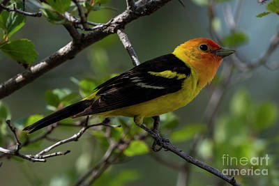 Pittsburgh According To Ron Magnes - Tanager Posing by Mike Dawson