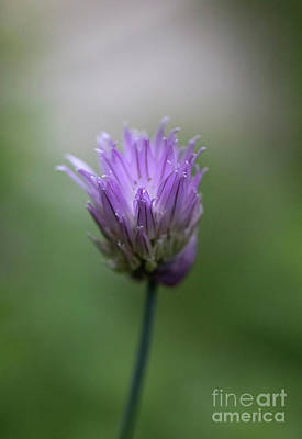 Jolly Old Saint Nick - Tender Chive Blossom by Diane Diederich
