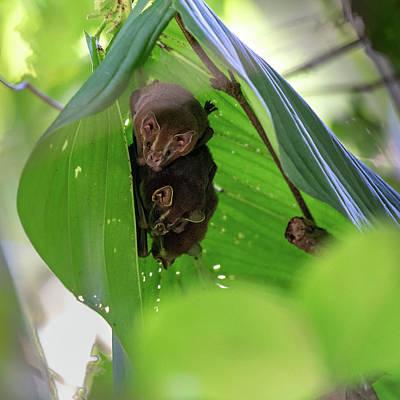Photograph - Tent-making Bats by Adrian O Brien