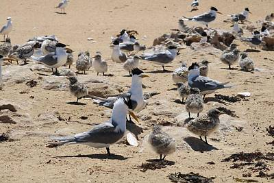 World War 2 Action Photography Royalty Free Images - Tern Beach Party Royalty-Free Image by Michaela Perryman