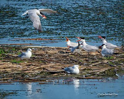 Photograph - Tern Takeout by LeeAnn McLaneGoetz McLaneGoetzStudioLLCcom