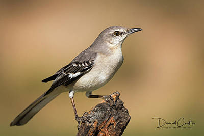 Birds Rights Managed Images - Texas State Bird Royalty-Free Image by David Cutts