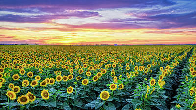 Robert Bellomy Royalty-Free and Rights-Managed Images - Texas Sunflower Field at Sunset by Robert Bellomy