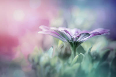 Royalty-Free and Rights-Managed Images - Textured Lavender Osteospermum in Pastel Shades  by Carol Japp