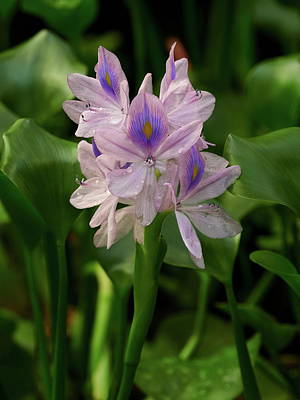 Fruits And Vegetables Still Life - The beauty and the beast. Water hyacinth by Jouko Lehto