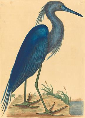 Drawing - The Blue Heron, Ardea Coerulea by Mark Catesby