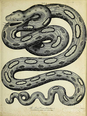 Animals Drawings - The boa constrictor h1 by Historic illustrations