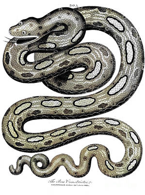 Animals Drawings - The boa constrictor h2 by Historic illustrations